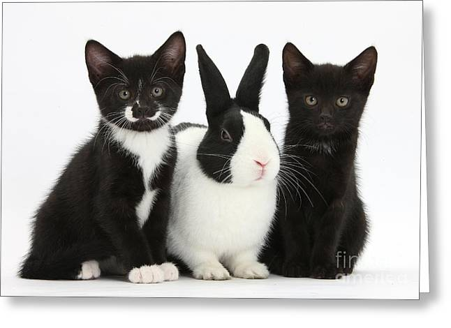 Tuxedo Greeting Cards - Tuxedo Kittens With Dutch Rabbit Greeting Card by Mark Taylor