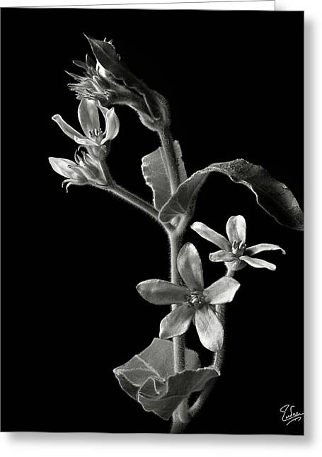 Flower Photos Greeting Cards - Tweedia in Black and White Greeting Card by Endre Balogh