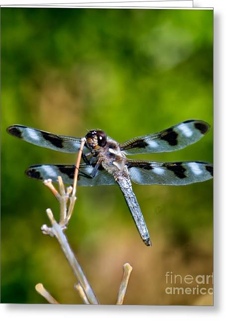 Black Widow Greeting Cards - Twelve-spotted Skimmer Dragonfly 3 Greeting Card by Betty LaRue