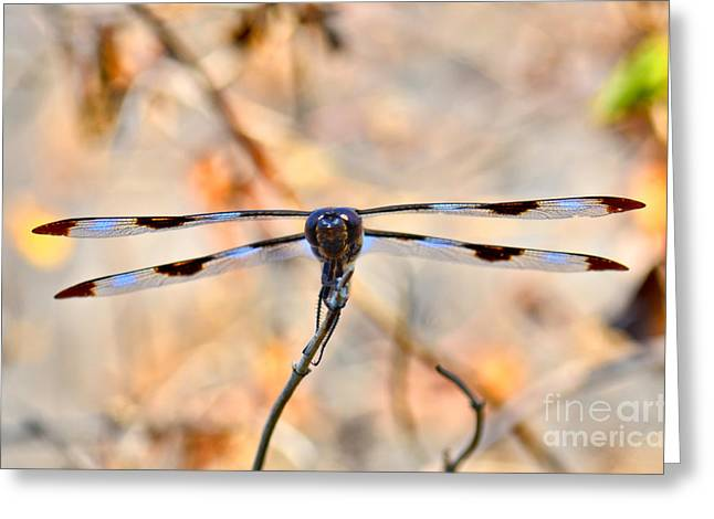 Black Widow Greeting Cards - Twelve-spotted Skimmer Dragonfly 5 Greeting Card by Betty LaRue