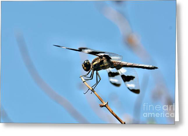 Black Widow Greeting Cards - Twelve-spotted Skimmer Dragonfly 6 Greeting Card by Betty LaRue