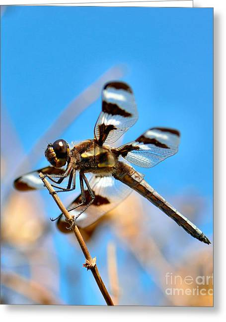 Black Widow Greeting Cards - Twelve-spotted Skimmer Dragonfly 7 Greeting Card by Betty LaRue
