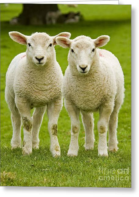 Purity Greeting Cards - Twin Lambs Greeting Card by Meirion Matthias
