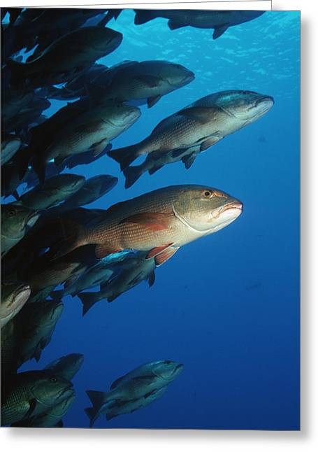 Red Snapper Greeting Cards - Twinspot Snappers Greeting Card by Georgette Douwma