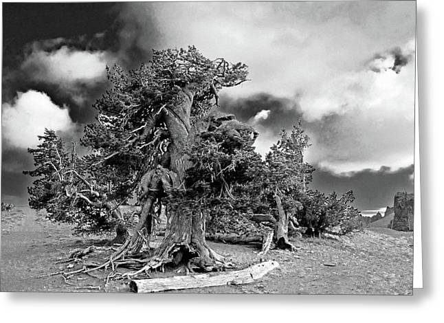 Dignity Greeting Cards - Twisted old Bristlecone Pine above Crater Lake - Oregon Greeting Card by Christine Till