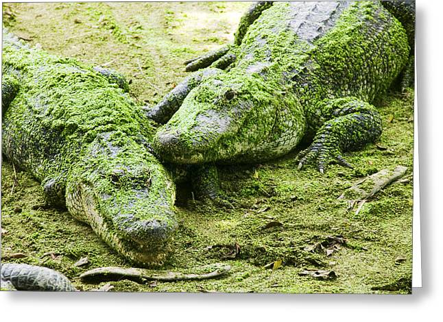 Algae Greeting Cards - Two Alligators Greeting Card by Garry Gay