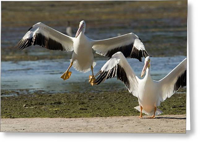 American White Pelican (pelecanus Erythrorhynchos) Greeting Cards - Two American White Pelicans Pelecanus Greeting Card by Tim Laman