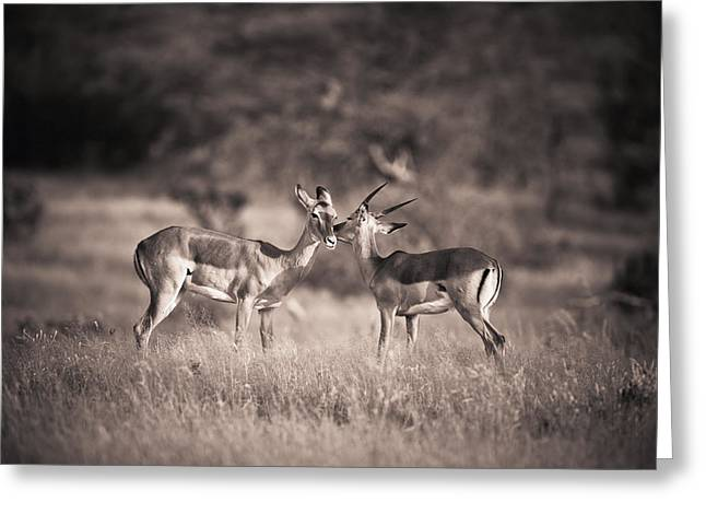 Love The Animal Greeting Cards - Two Antelopes Together In A Field Greeting Card by David DuChemin