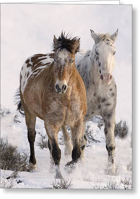 Spotted Horse Greeting Cards - Two Appaloosas Greeting Card by Carol Walker