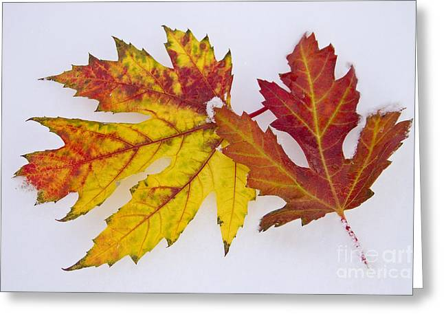Snow Tree Prints Greeting Cards - Two Autumn Maple Leaves  Greeting Card by James BO  Insogna