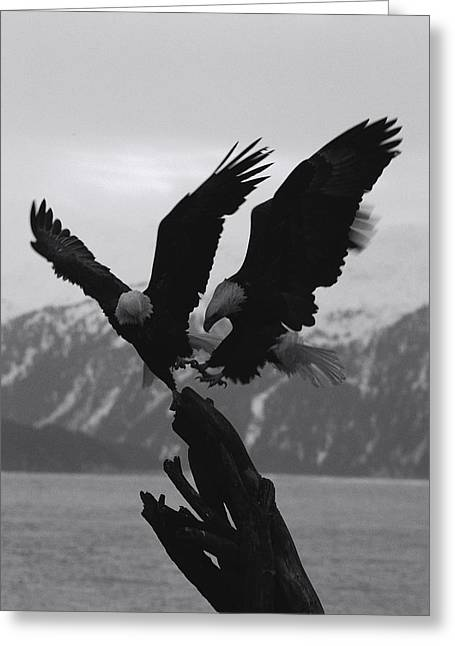 Aggression And Competition Greeting Cards - Two Bald Eagles Haliaeetus Greeting Card by Norbert Rosing
