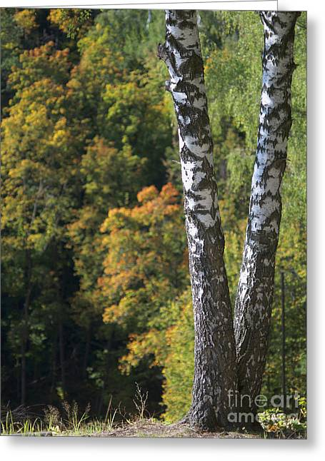 Forest Pyrography Greeting Cards - Two Birch Trees in Autumn Forest. Selective Focus Greeting Card by Andrey Ushakov