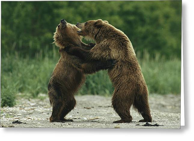Hostility Greeting Cards - Two Brown Bears Fighting While Standing Greeting Card by Klaus Nigge