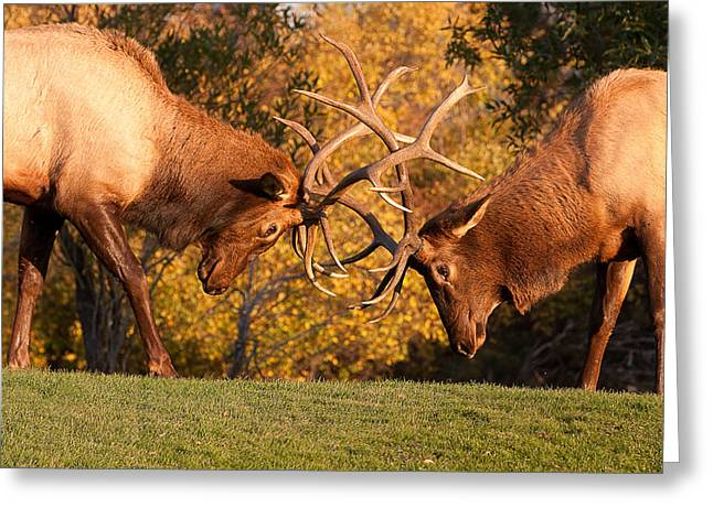 Sparring Greeting Cards - Two Bull Elk Sparring 89 Greeting Card by James BO  Insogna