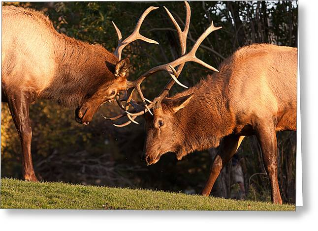 Sparring Greeting Cards - Two Bull Elk Sparring 91 Greeting Card by James BO  Insogna