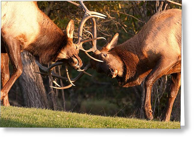 Sparring Greeting Cards - Two Bull Elk Sparring 94 Greeting Card by James BO  Insogna