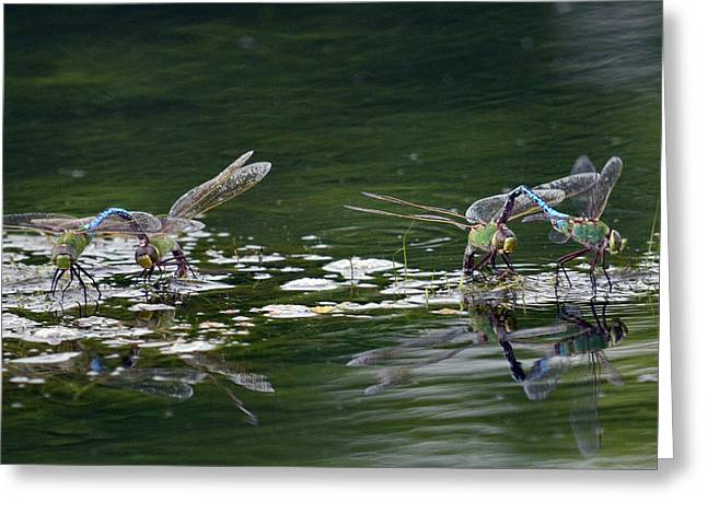 Green Darner Dragonflies Greeting Cards - Two By Two Greeting Card by Fraida Gutovich