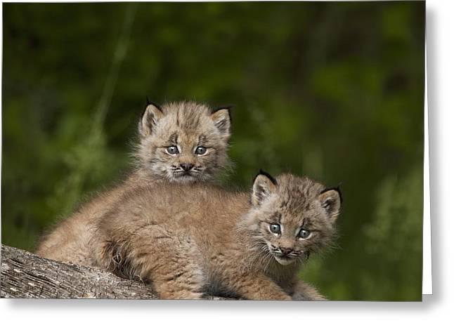 Canadian Lynx Greeting Cards - Two Canada Lynx Lynx Canadensis Kittens Greeting Card by Richard Wear