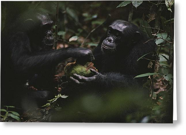Two Chimpanzees Share Fruit Greeting Card by Michael Nichols