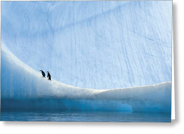 Straps Greeting Cards - Two Chinstrap Penguin Chicks Rest Greeting Card by Paul Nicklen