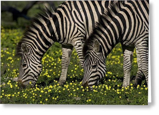 Zebra Eating Greeting Cards - Two Common Or Burchells Zebras Grazing Greeting Card by Beverly Joubert