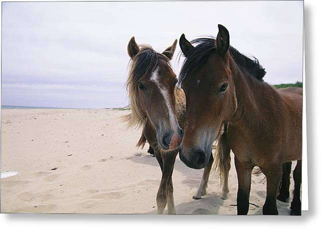 Wild Horse Greeting Cards - Two Curious Wild Horses On The Beach Greeting Card by Nick Caloyianis