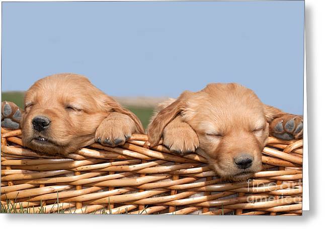 Animal Shelter Greeting Cards - Two Cute Puppies Asleep in Basket Greeting Card by Cindy Singleton