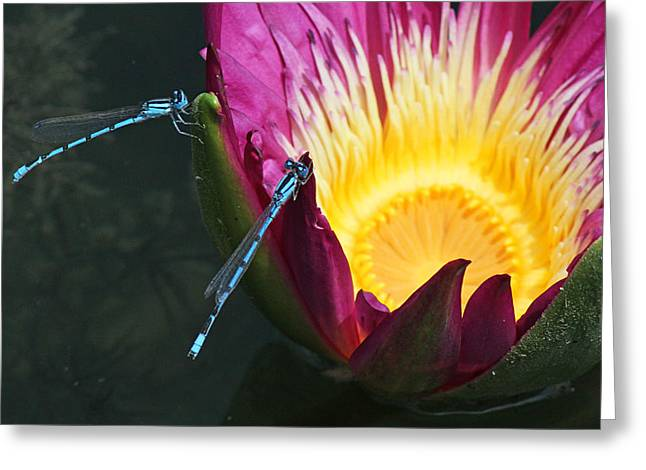 Becky Greeting Cards - Two damselflies on pink waterlily Greeting Card by Becky Lodes