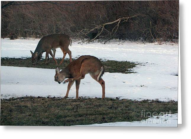 Grazing Snow Greeting Cards - Two Deer Grazing Greeting Card by Cedric Hampton