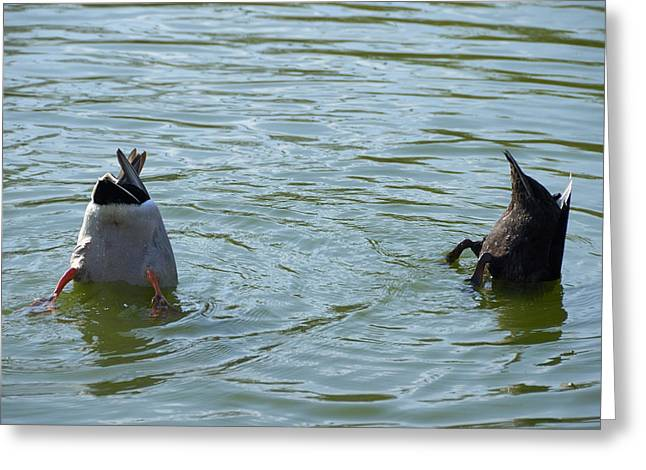 Twosome Greeting Cards - Two ducks diving Greeting Card by Matthias Hauser