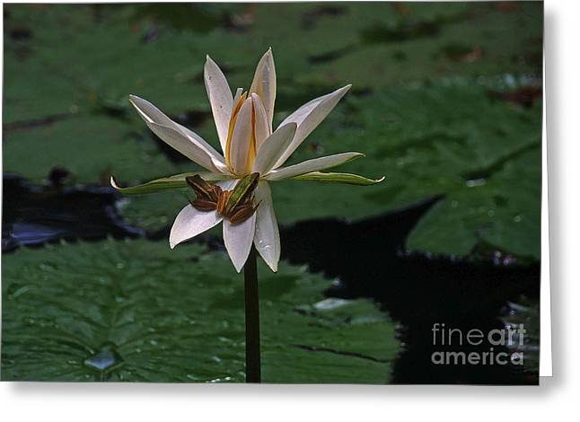 Lilly Pad Greeting Cards - Two Frogs Sharing A Lotus Greeting Card by Rich Walter