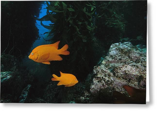 Full-length Portrait Photographs Greeting Cards - Two Garibaldi Fish Greeting Card by Tim Laman