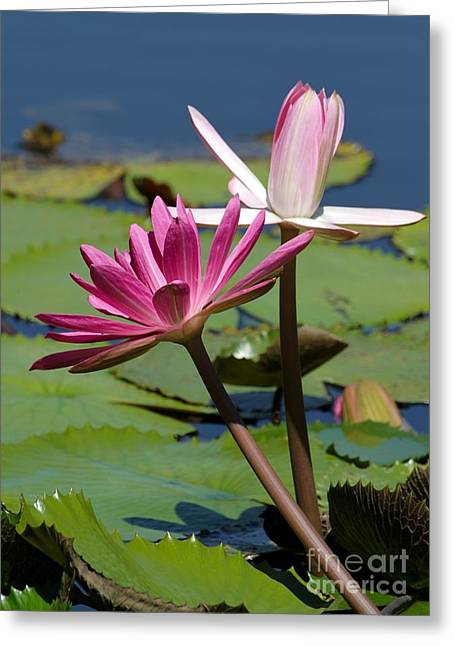 Graceful Lotus Greeting Cards - Two Graceful Water Lilies Greeting Card by Sabrina L Ryan