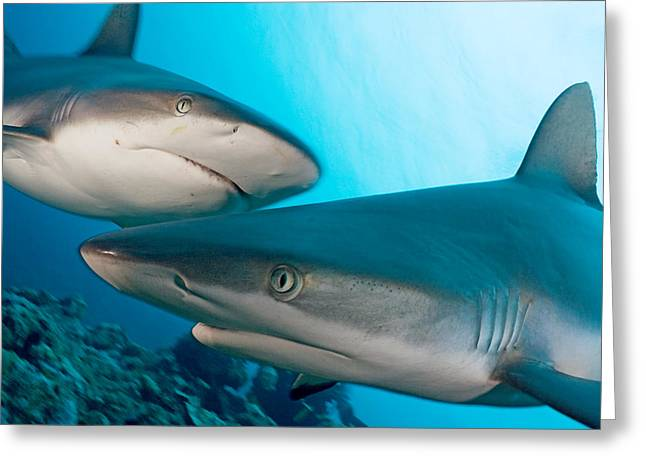 Yap Greeting Cards - Two Gray Reef Sharks Greeting Card by Dave Fleetham - Printscapes