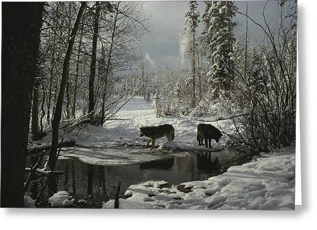 Wolf Creek Greeting Cards - Two Gray Wolves, Canis Lupus, Stop Greeting Card by Jim And Jamie Dutcher