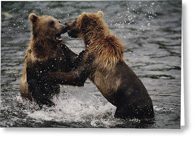Hostility Greeting Cards - Two Grizzlies, Up On Their Hind Legs Greeting Card by Joel Sartore