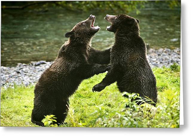 Hostility Greeting Cards - Two Grizzly Bears Fighting Greeting Card by Richard Wear