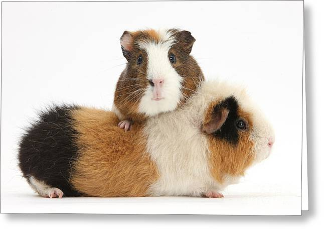 Cavy Greeting Cards - Two Guinea Pigs Greeting Card by Mark Taylor