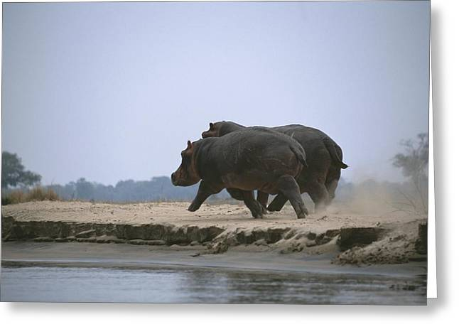 Zimbabwe Greeting Cards - Two Hippos Stir Up Dust As They Trot Greeting Card by Beverly Joubert