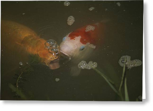 Air Bubbles Greeting Cards - Two Koi Approaching The Pond Surface Greeting Card by Brian Gordon Green