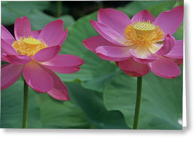 Lotus Leaves Greeting Cards - Two Lotus Greeting Card by Elvira Butler