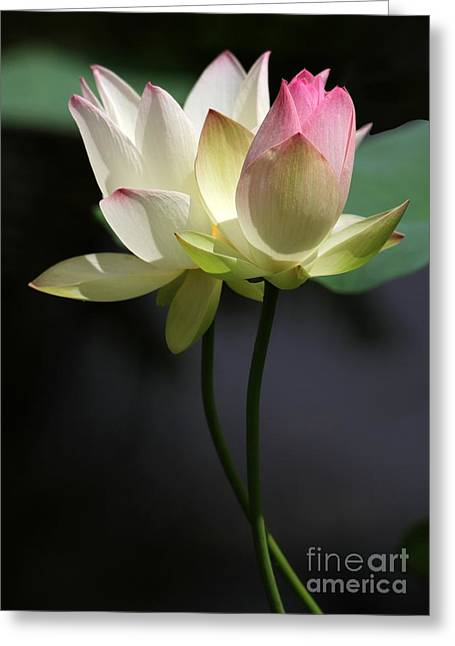 New Beginnings Greeting Cards - Two Lotus Flowers Greeting Card by Sabrina L Ryan
