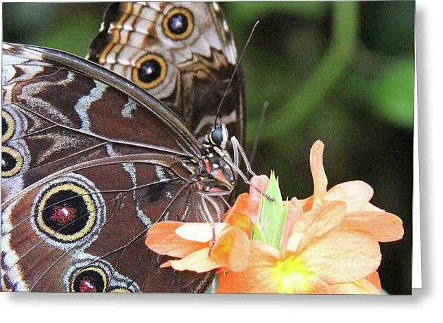 Becky Lodes Greeting Cards - Two morphos on orange flower Greeting Card by Becky Lodes