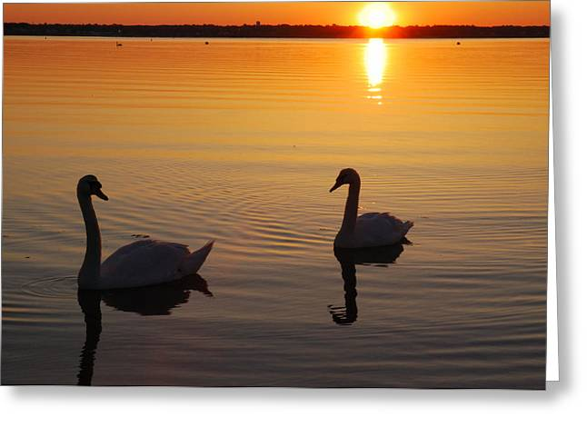 Muted Greeting Cards - Two Mute Swans In The Narragansett Bay Greeting Card by Darlyne A. Murawski