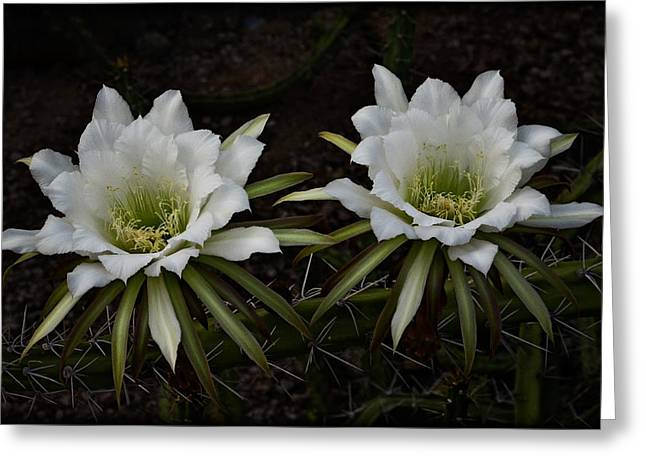 White Cactus Flower Greeting Cards - Two of a Kind  Greeting Card by Saija  Lehtonen