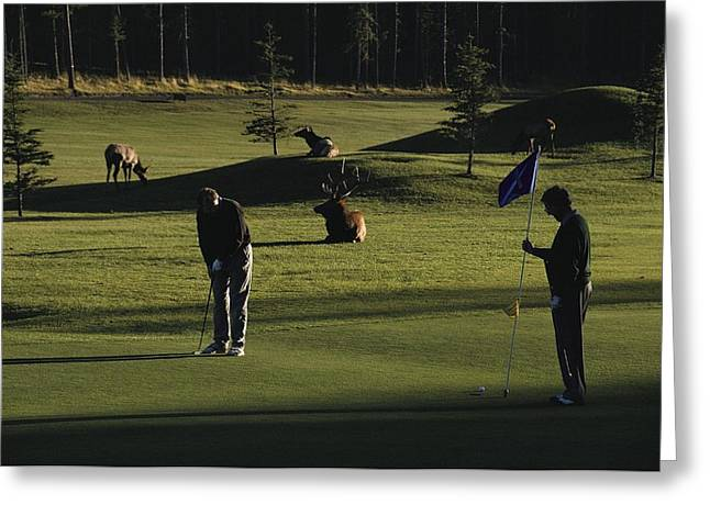 Photographs With Red. Greeting Cards - Two People Play Golf While Elk Graze Greeting Card by Raymond Gehman