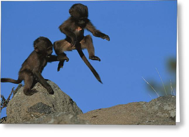 Two Tailed Photographs Greeting Cards - Two Playful Young Gelada Baboons Leap Greeting Card by Michael Nichols