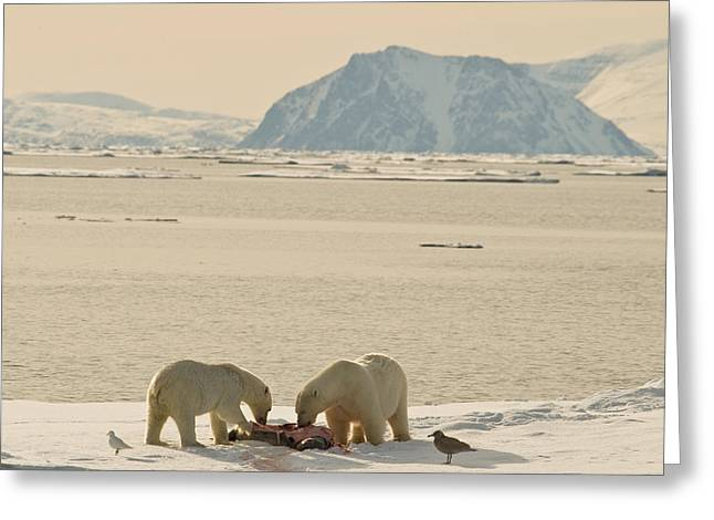 Svalbard Greeting Cards - Two Polar Bears Eat A Carcass As Sea Greeting Card by Norbert Rosing