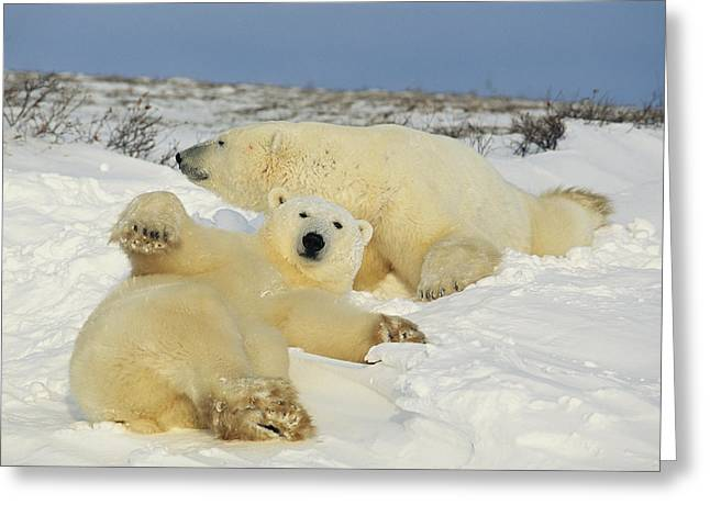 Bask Greeting Cards - Two polar bears lounging Greeting Card by Norbert Rosing