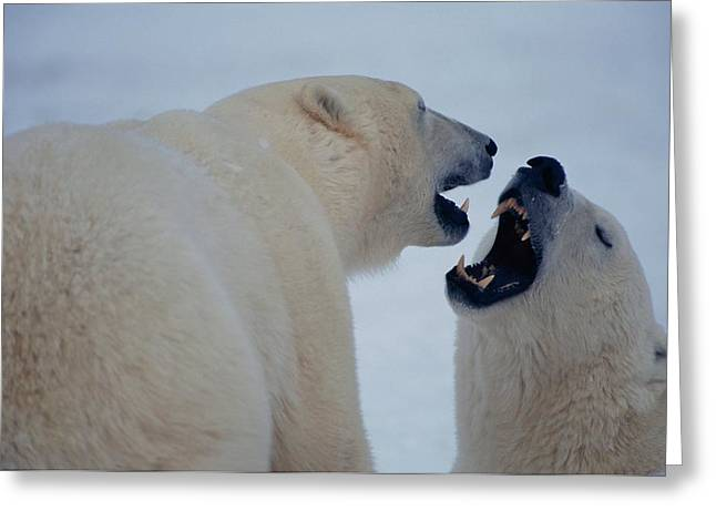 Anger And Hostility Greeting Cards - Two Polar Bears Play Fight Greeting Card by Paul Nicklen